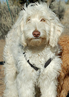 Sabastion is Gorgeousdooles foundation Grand Sire of our Doodle family. Sire Jeffrow&#039;s father and Ruben&#039;s Grandfather.