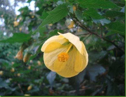 Abutilon, Yellow (4)