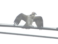 7.31.12 young osprey on wire wings spread2