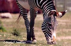 zebra%5B1%5D[1]