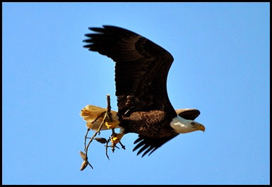 Birds - Bald Eagle with nest material