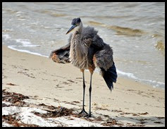 Nature - Fluffy Great Blue Heron