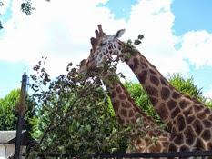 2013.08.04-036 girafes