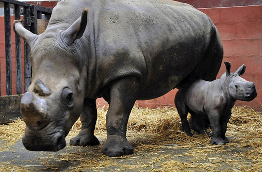 FRANCE-ANIMALS-ZOO-RHINOCEROS