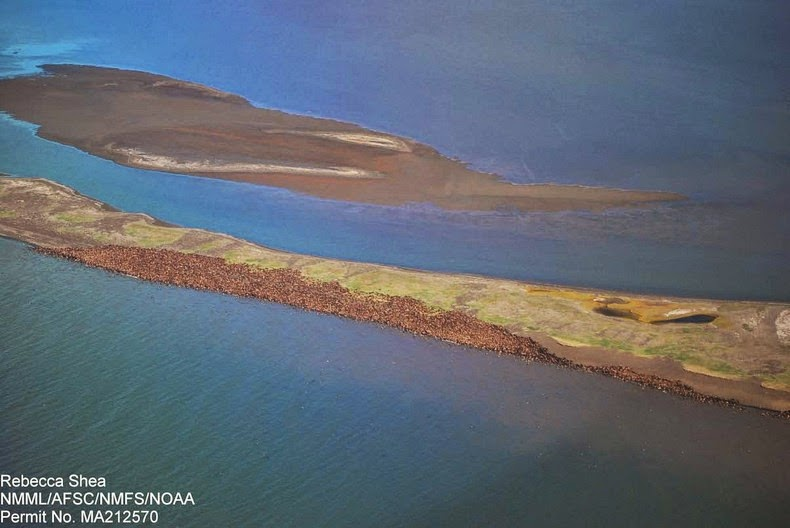 walrus-ashore-alaska-1