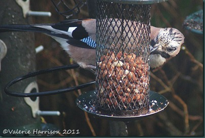 jay-on-feeder