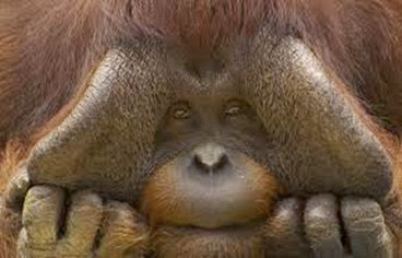 Amazing Pictures of Animals, Photo, Nature, Incredibel, Funny, Zoo, Bornean orangutan,Pongo pygmaeus, Primates, Alex (19)