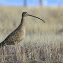 Zarapito, Long-billed Curlew