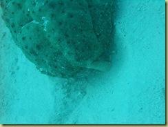 Sea Cucumber 2