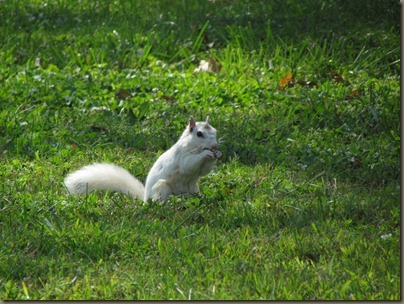 white squirrel, Brevard NC