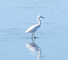 cape Cod 8.2013 white snowy egret at beach2