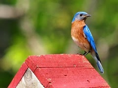 eastern-bluebird-570499_1280