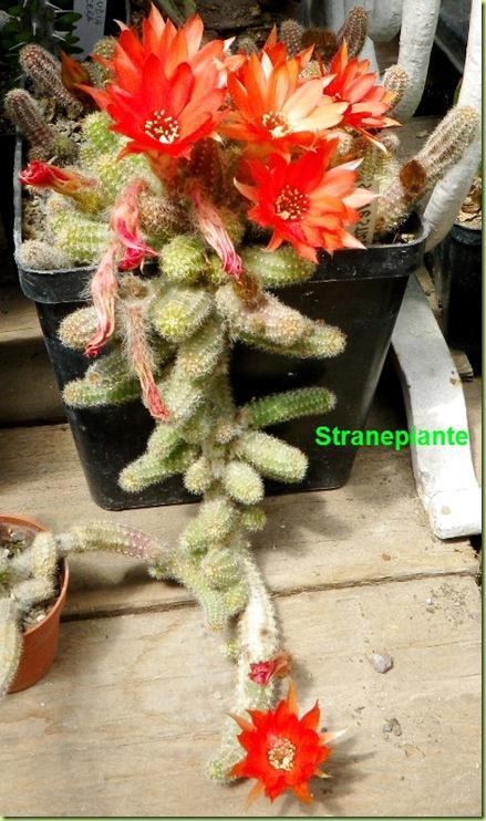 8 Echinopsis chamaecereus silvestrii in fioritura 5-12