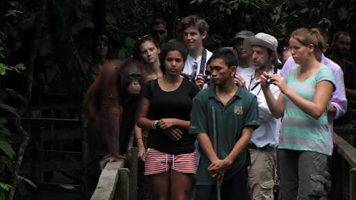 Close-up encounter with a juvenile orangutan on the walkway.