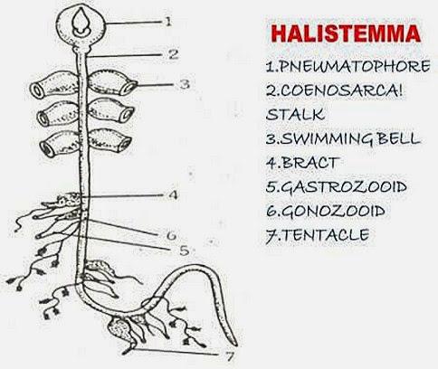 polymorphism-coelenterates-Halistemma