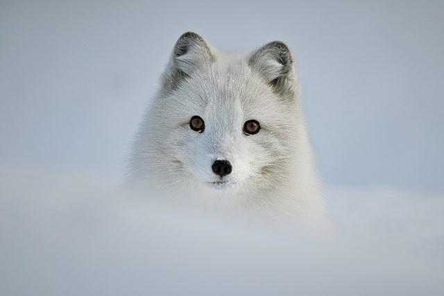 Fox_01
