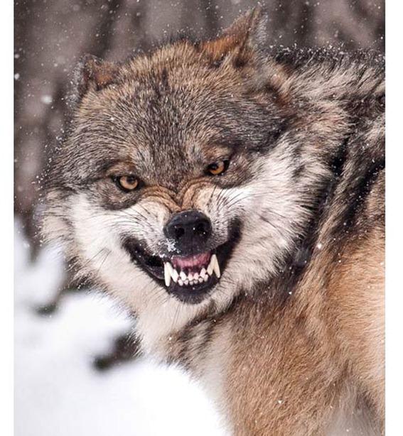 wolf_1801723i