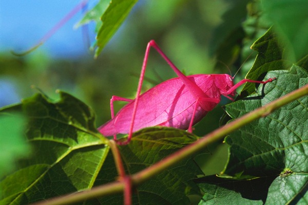 Really Pink Katydid