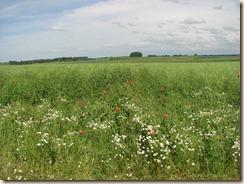Margrieten en klaprozen vóór een veld met koolzaadplanten