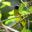 Black-headed Bulbul-08.jpg