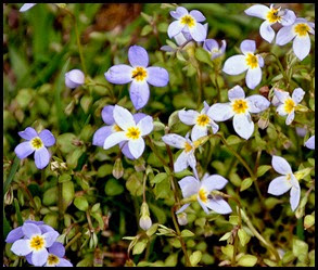 04 - Spring Wildflowers - Bluets