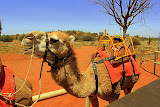 Johnny The Camel Is Excited About The Day Ahead - Yulara, Australia