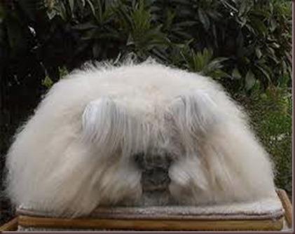 Amazing Animal Pictures Angora Rabbit (7)