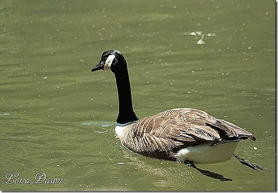 NB_Goose2