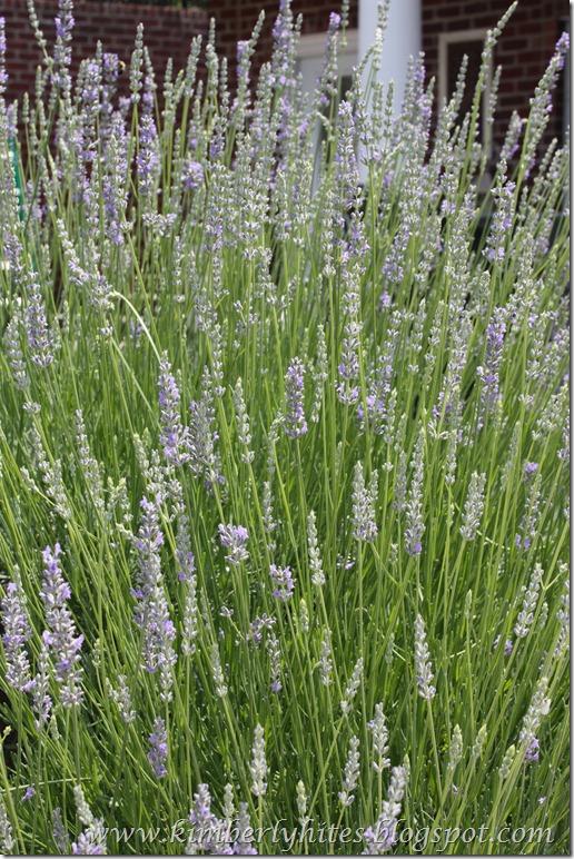 lavender (3)