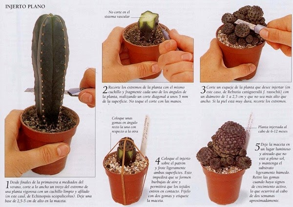 injertos-de-cactus-proceso
