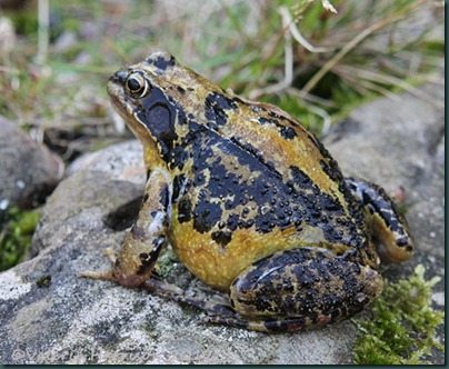 big-frog-3