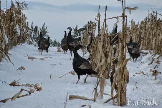 Turkeys in the corn three (2)
