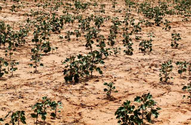 Drought-stricken cotton plants near Pocasset, Oklahoma, 22 August 2012. Photo: Sue Ogrocki / AP