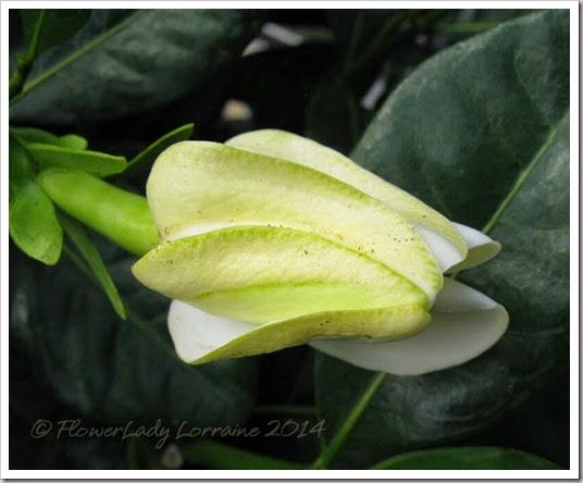 04-29-tahitian-gardenia