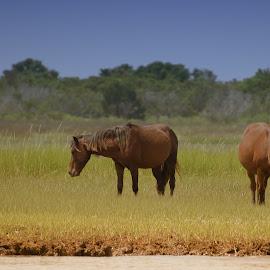 Grazing by Cindy Hartman - Animals Horses ( wild, wild hores, horse, shackleford banks, north carolina )