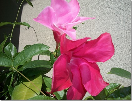 Mandevilla in August 005