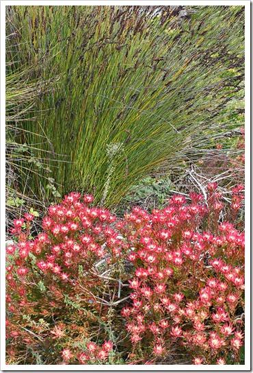 120211_UCSC_Arboretum_Leucadendron-salignum-Winter-Red_05
