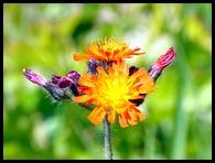 03g2 - Knight Trail - flowers