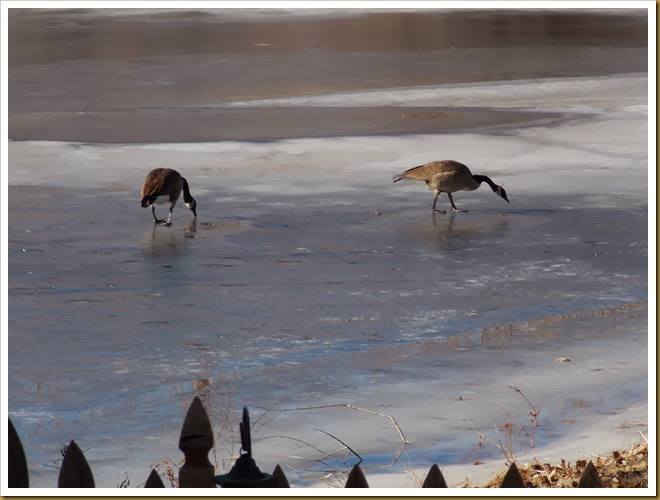 01-11-2014 Geese walking on frozen pond (5)