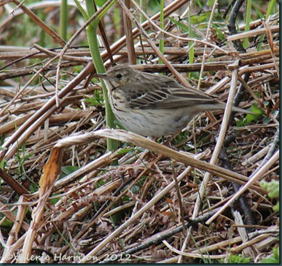 54-Meadow-Pipit
