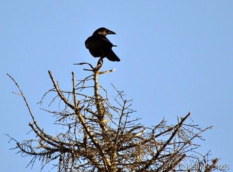 9. 12-20-14 Crow-kab