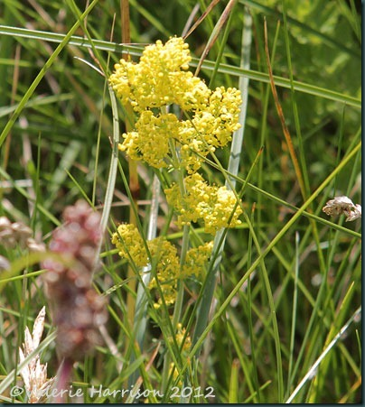 32-Ladys-Bedstraw