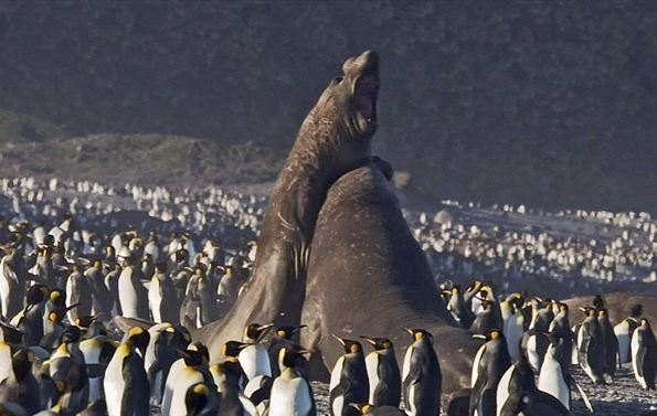 two male elephant seals fight amidst a beach of king penguins