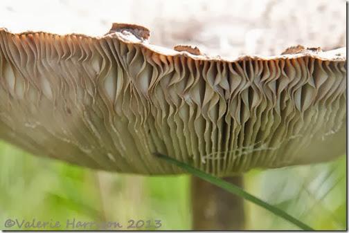 31-parasol-mushroom