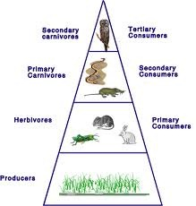 pyramid of numbers in grass land