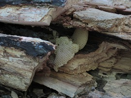 honeycomb in fallen tree