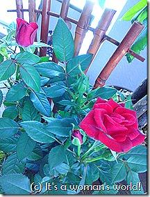 Rose plant 2
