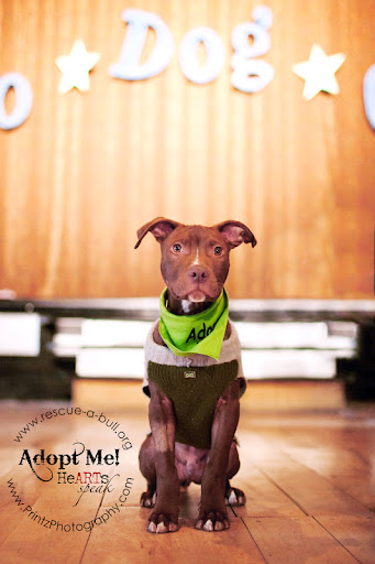 The definition of cute... Lincoln won crowd's pick for Best in Show! Lincoln is looking for a loving home through Rescue-a-Bull.org