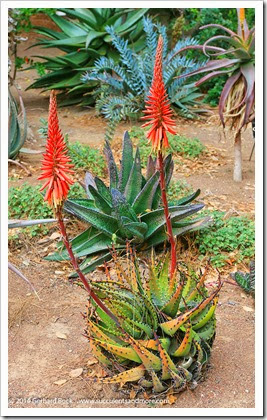 140202_UCD_Aloe melanacantha_003