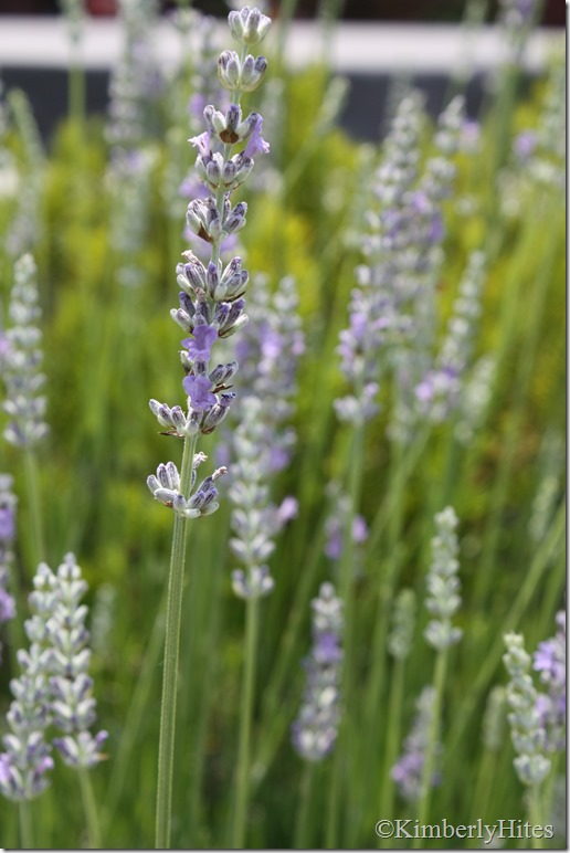 lavender_how_to (2)